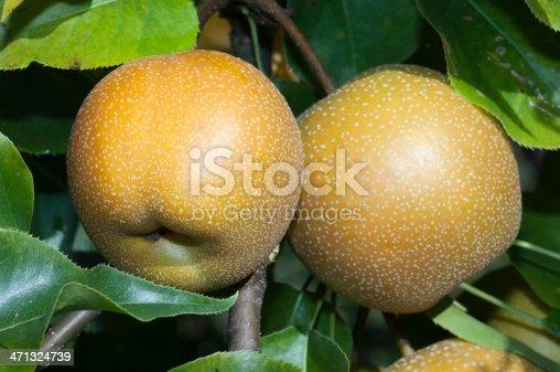 Asian nashi pears isolated on white