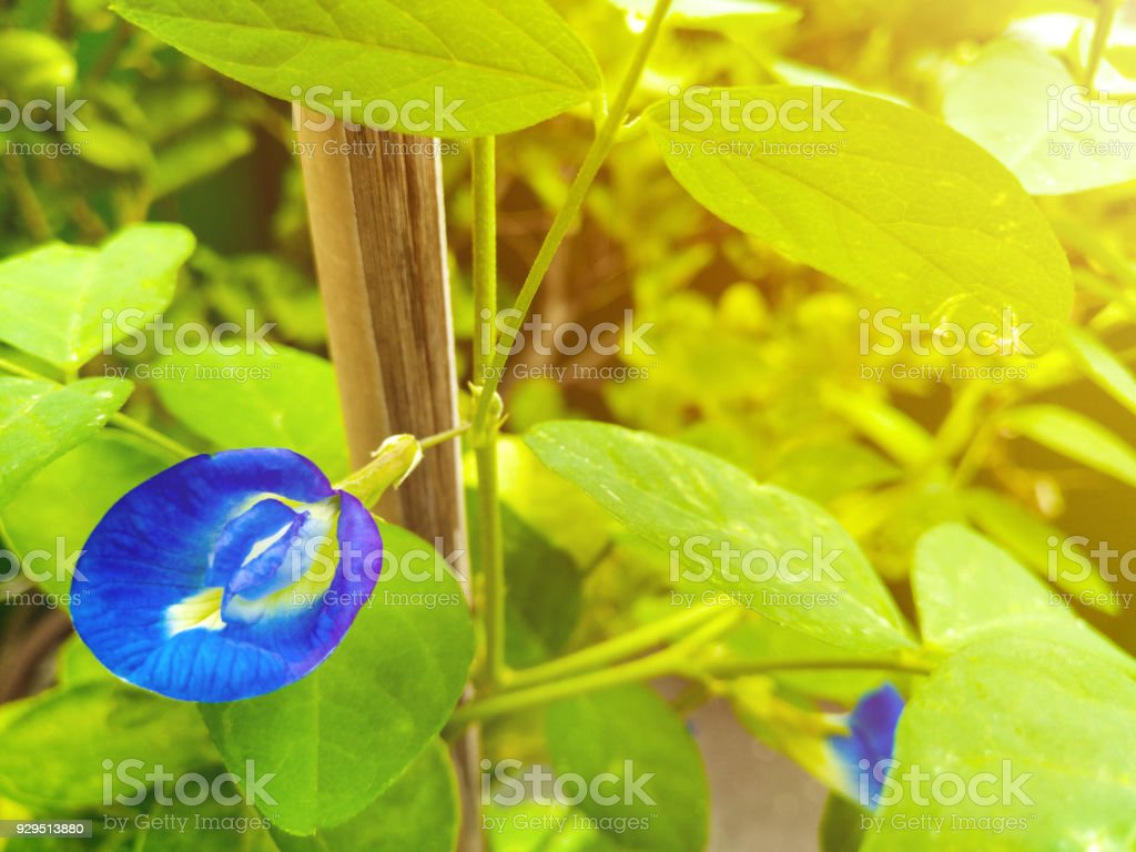 Asian pigeonwings, flower of this vine were imagined to have the shape of human female genital stock photo