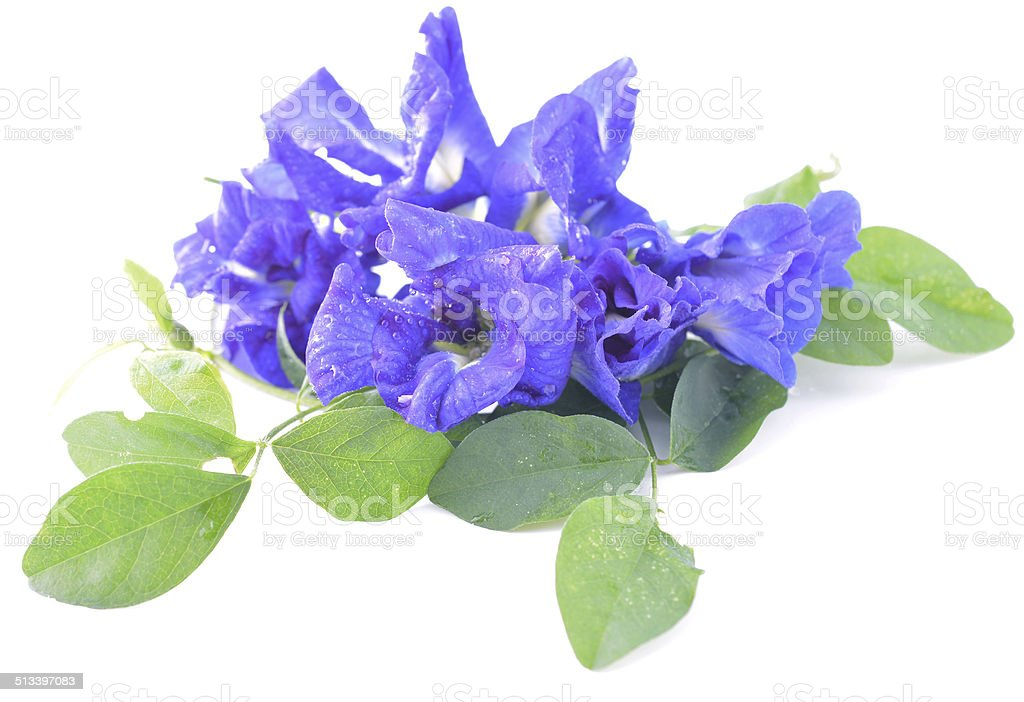 Asian pigeonwings or on Clitoria ternatea flower white backgroun stock photo