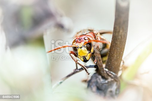 istock Asian predatory wasp also called Asian Hornet insect taken in macro selective focus on plant stem invading France and part of Europe in 2016 646942896