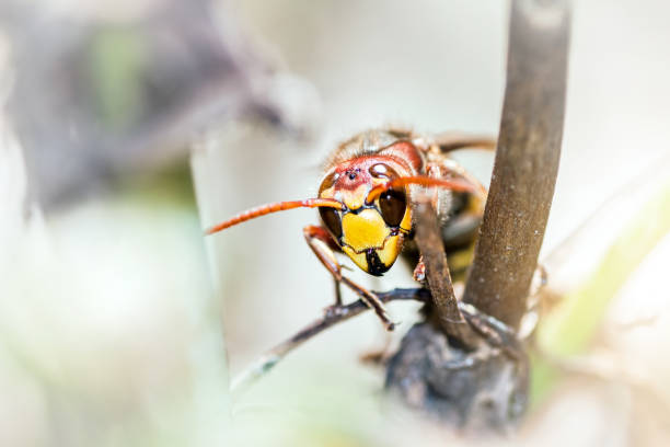 Asian predatory wasp also called Asian Hornet insect taken in macro selective focus on plant stem invading France and part of Europe in 2016 – Foto