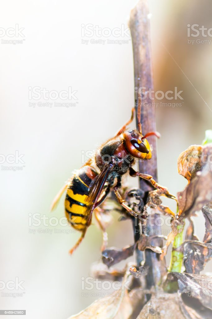 Asian predatory wasp also called Asian Hornet insect taken in macro selective focus on plant stem invading France and part of Europe in 2016 - foto de stock