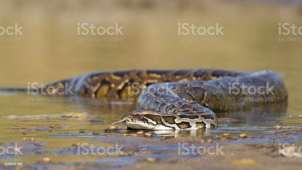 Asian Python in river in Nepal stock photo