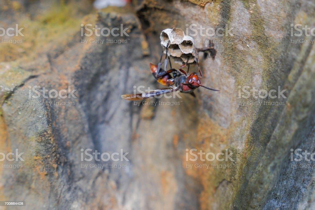 avispa roja asiática de cerca - foto de stock