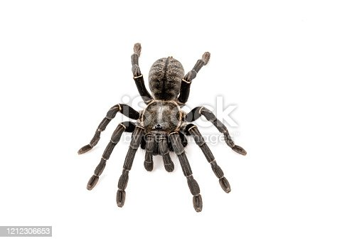Asian species Tarantula spider Found in Thailand, the scientific name is \