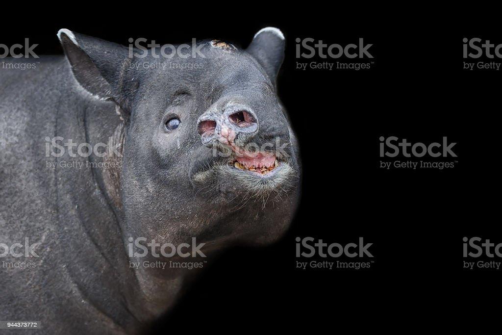 Asiatischer Tapir Kopf auf schwarzen Hintergrund isoliert. Schabrackentapir – Foto