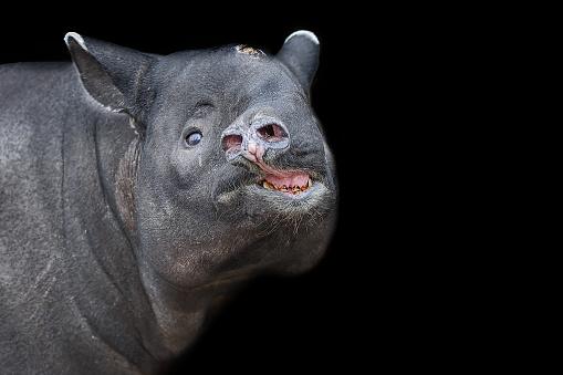 raubtiere asiatischer tapir