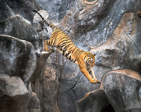 istock Asian tiger jumping on a rock. 992003912