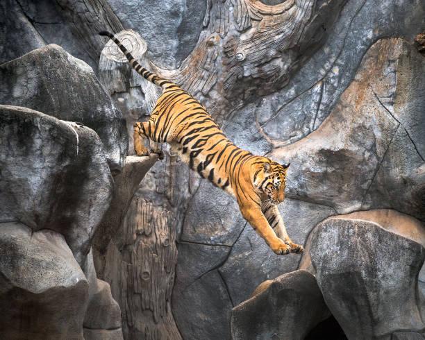 tigre asiático saltando sobre una roca. - tigre fotografías e imágenes de stock