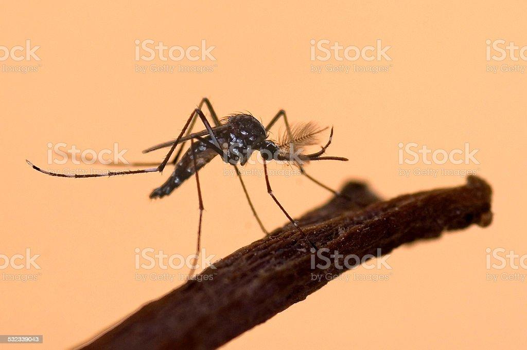 Asian Tiger Mosquito, Aedes albopictus stock photo