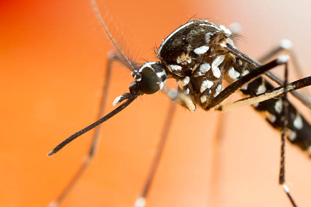 Asian Tiger Mosquito extreme close up stock photo