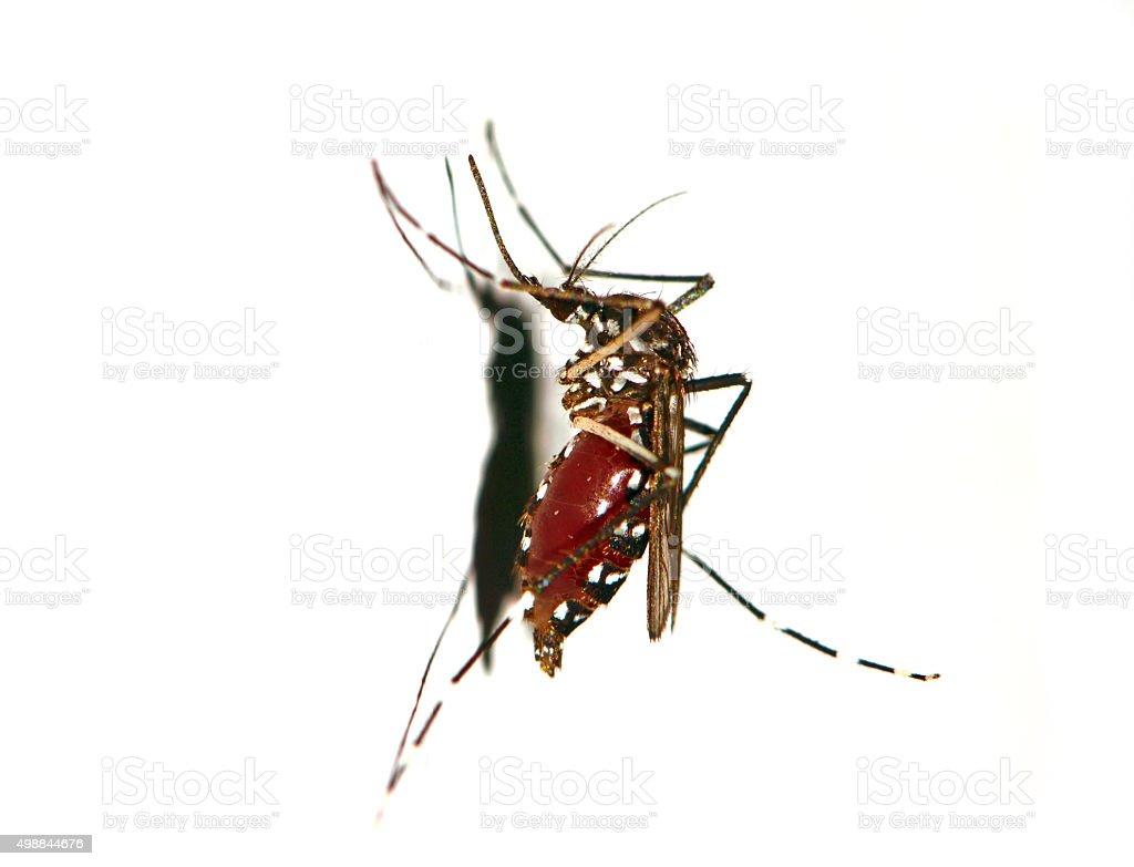 Zanzara Tigre Su Sfondo Bianco Fotografie Stock E Altre Immagini