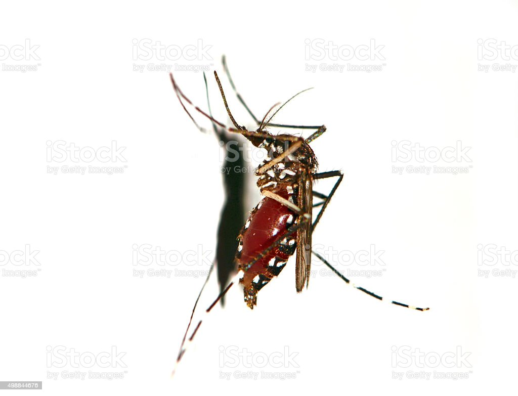 Asian Tiger Mosquito on White Background stock photo