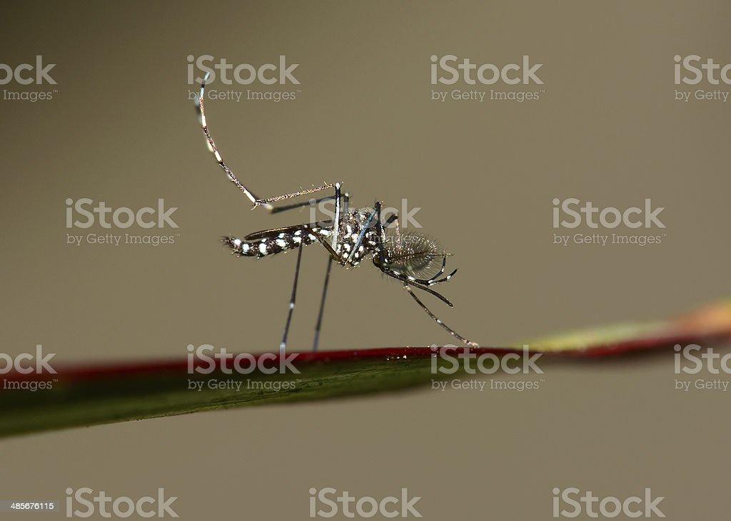 Asian Tiger Mosquito Asian Tiger Mosquito Animal Stock Photo