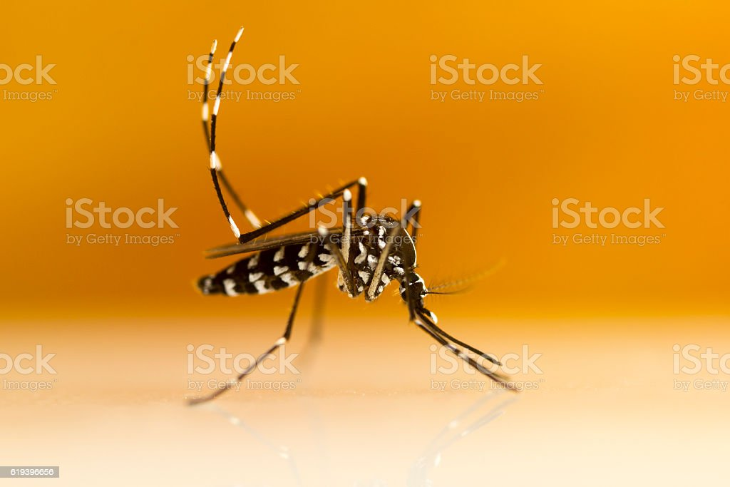 Asian Tiger Mosquito (Aedes albopictus) royalty-free stock photo