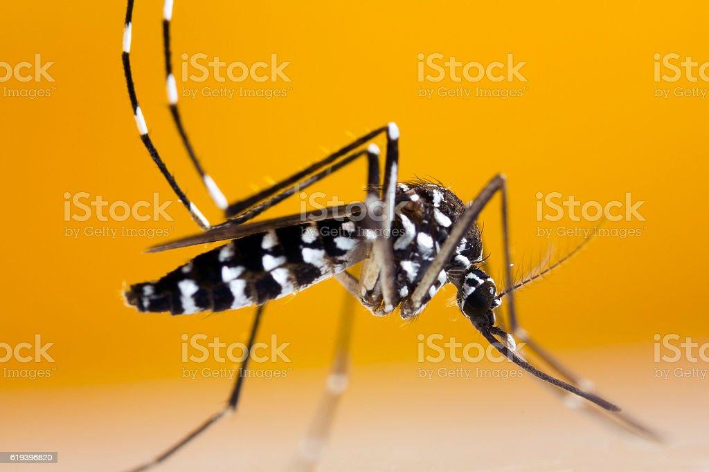 Asian Tiger Mosquito (Aedes albopictus) stock photo
