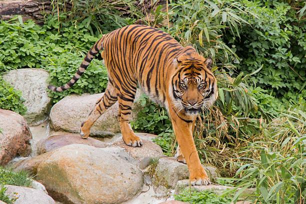 ASIATISCHE Tiger – Foto