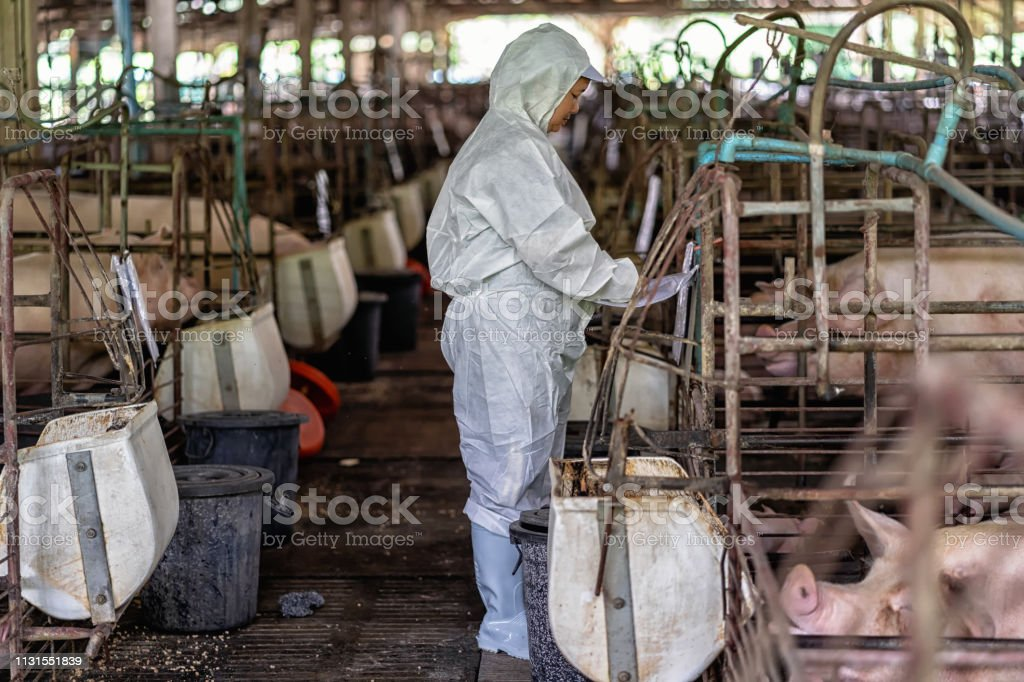 Asian veterinarian working and checking the baby pig in hog farms,...