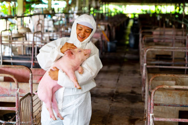Asian veterinarian working and checking the big pig healthy in hog farms, animal and pigs farm industry Asian veterinarian working and checking the big pig healthy in hog farms, animal and pigs farm industry antibiotic resistant stock pictures, royalty-free photos & images