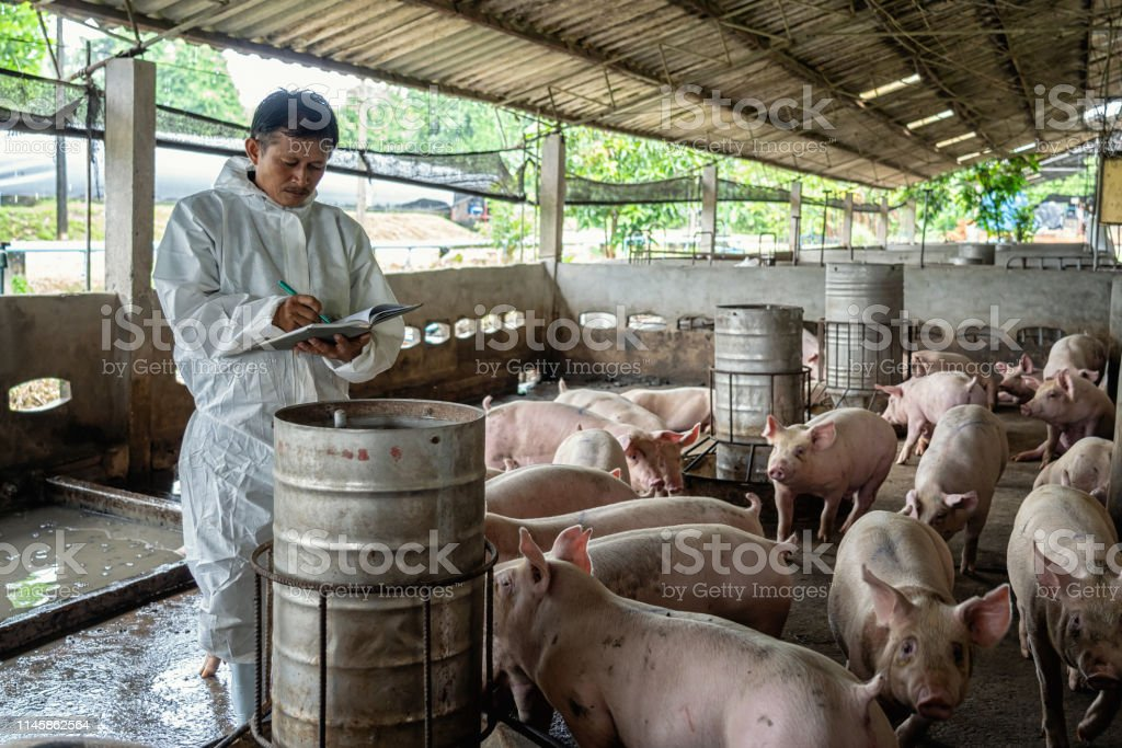 Asian veterinarian working and checking the pig in hog farms, animal...