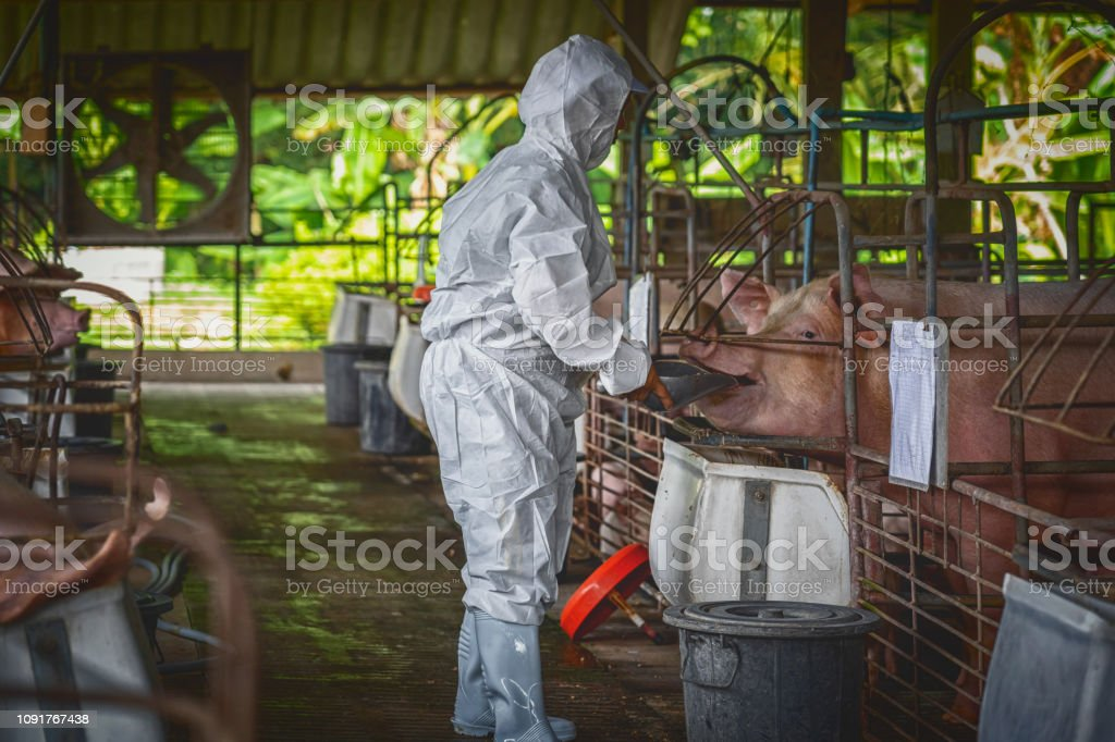 Asian veterinarian working and Feeding the pig food in hog farms,...