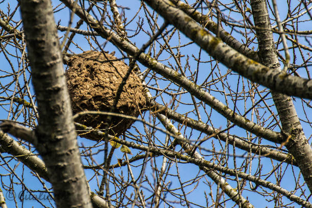 Asian wasp nest
