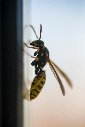 Asian wasp