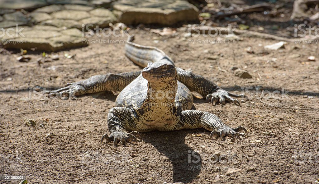 Asian water monitor looks at camera stock photo