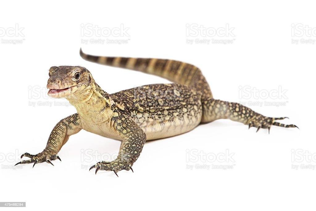 Asian Water Monitor Open Mouth Isolated stock photo