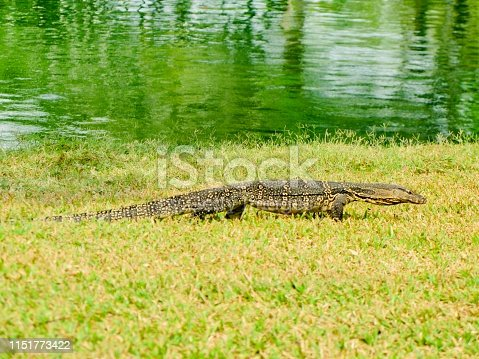Animal and Wildlife, Asian Water Monitor or Varanus Salvator Walking on The Grass Nearing The Pond.