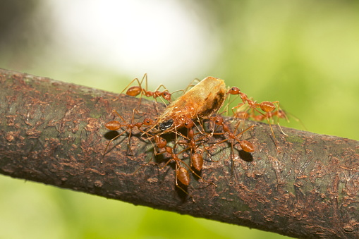 Asian weaver ants maneuvering with dried shrimp head. these are carnivores ants. genus Oecophylla family Formicidae, India