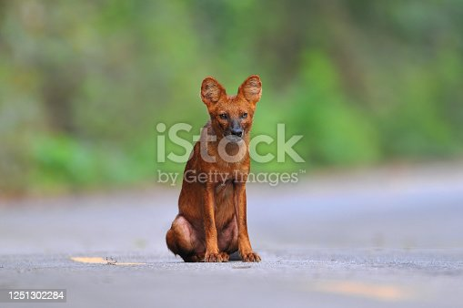 Asian Wild Dog or Dhole ,Reddish brown or gray-brown hair Bushy tail, long bush Live in dense forests Living in a flock at dawn and blazing