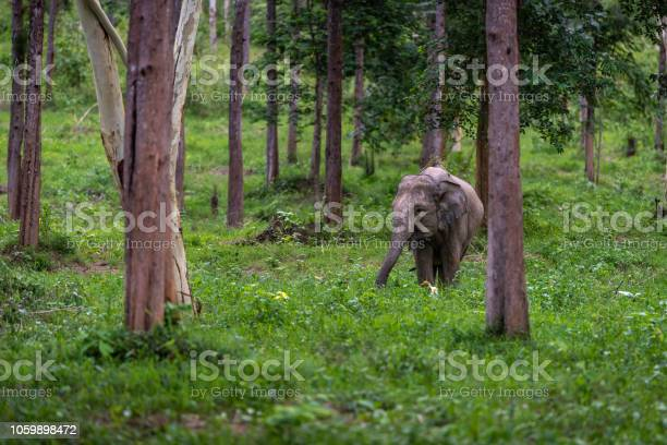 Asian wild elephant kuiburi national park thailand picture id1059898472?b=1&k=6&m=1059898472&s=612x612&h=psdqzhzltree171jklq6kqshwq6yumzttm06i djgae=