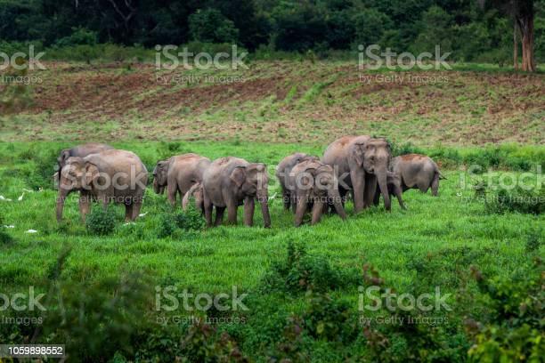 Asian wild elephant kuiburi national park thailand picture id1059898552?b=1&k=6&m=1059898552&s=612x612&h=xwcsgrcjsy7bkcrit2gnjidh1uwwq96f sileoyrdj0=