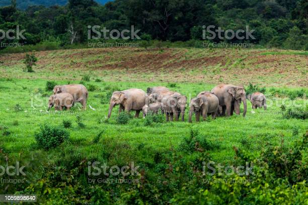 Asian wild elephant kuiburi national park thailand picture id1059898640?b=1&k=6&m=1059898640&s=612x612&h=bgdledu2pao4uu mmtn7txvxkg76jgm57vcum52m3ig=