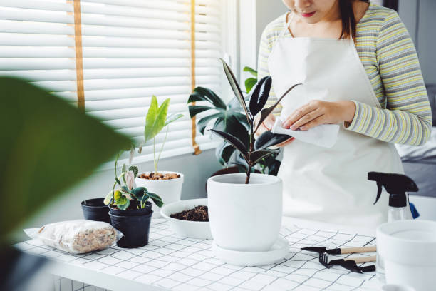 Asian Woman caring for Cleaning leaves in the morning at home houseplant care concept stock photo