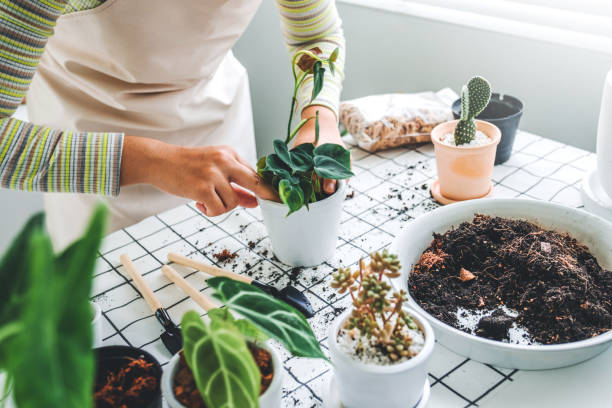 Asian Woman gardener potting new plant and Repotting pot for House plant .Plants care concept stock photo