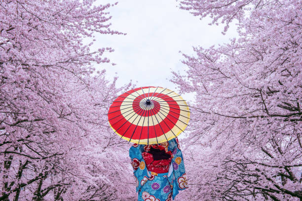Asian woman wearing japanese traditional kimono and cherry blossom in spring, Japan. stock photo
