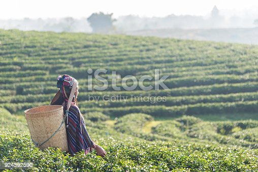 istock Asian woman working and picking tea leaf in farm tea plantation agriculture. 924392590