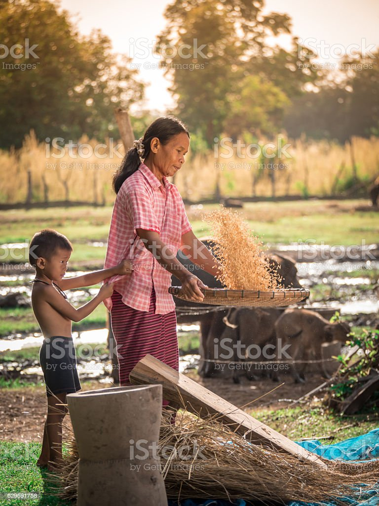 Asian women winnow rice rice separate between rice and rice chaf. stock photo