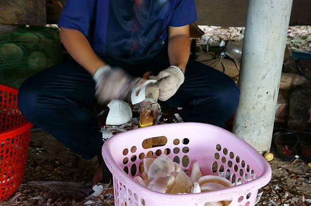 asiatische arbeiter, kokosnuss, copra, material, das mekong-delta - kokoskuchen stock-fotos und bilder