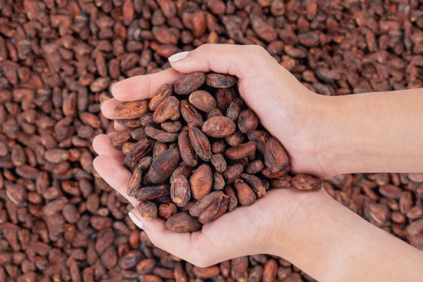 Asian's woman hand are holding raw cocoa beans with background a lot of cocoa beans. Asian's woman hand are holding raw cocoa beans with background a lot of cocoa beans. cocoa bean stock pictures, royalty-free photos & images