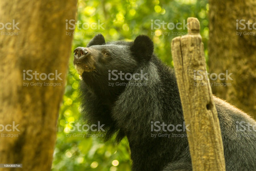 Asiatic Black Bear (Ursus thibetanus) aka Moon bear, Luang Prabang, Laos - Foto stock royalty-free di Albero tropicale