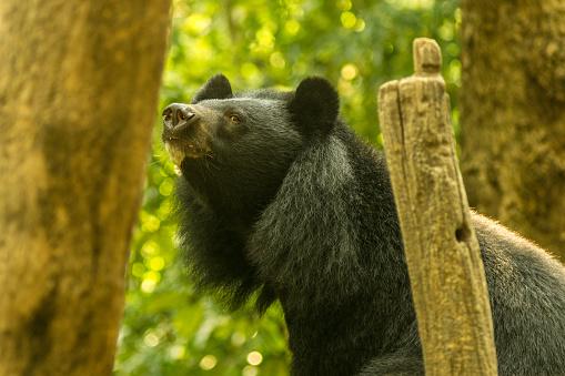 Asiatic Black Bear Aka Moon Bear Luang Prabang Laos - Fotografie stock e altre immagini di Albero tropicale