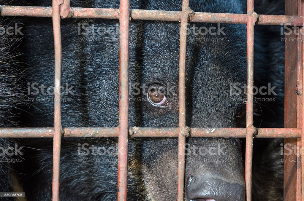 Asiatic black bear are in cage stock photo