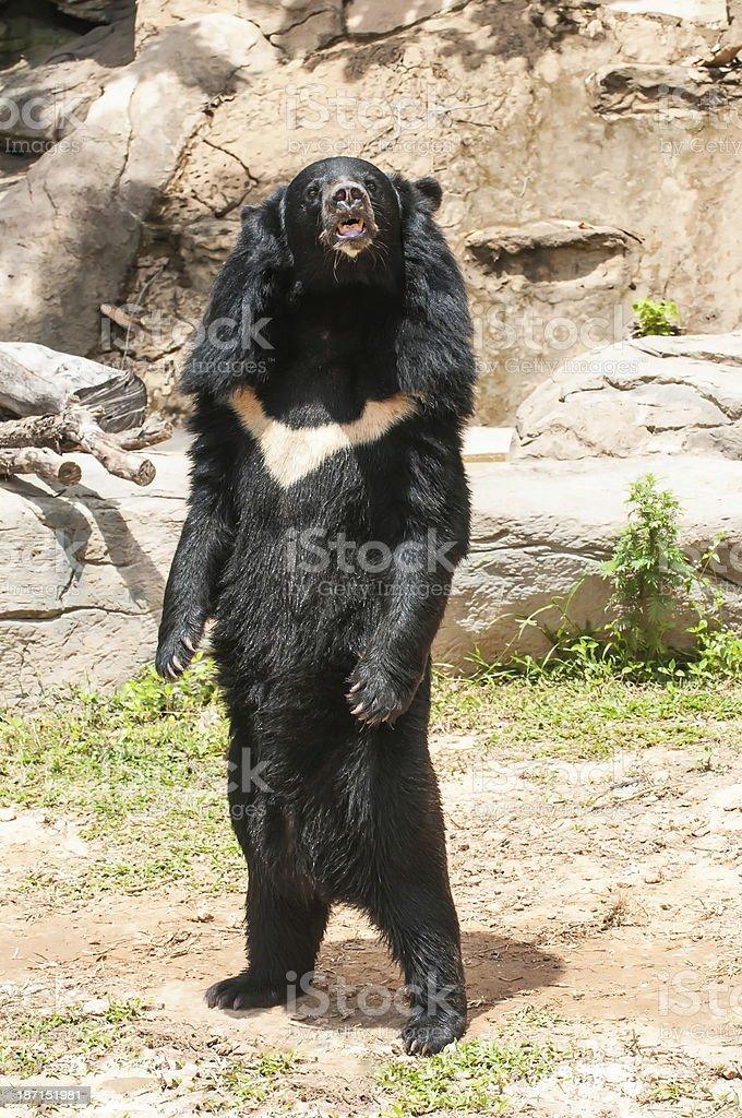 Asiatic black bear stock photo