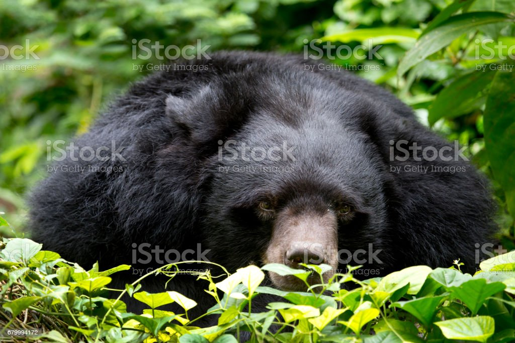 asiatic black bear sleeping stock photo more pictures of american