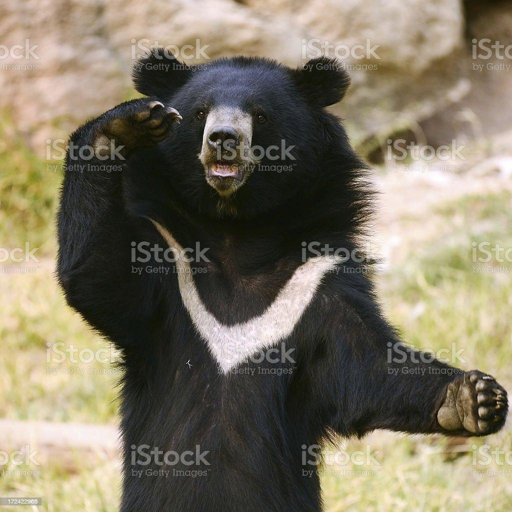 Asiatic Black Bear Standing stock photo