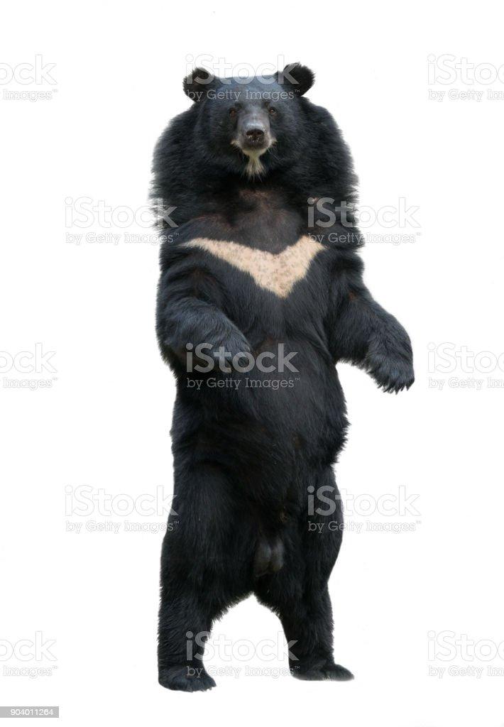 blackbear asiática, isolado no fundo branco - foto de acervo