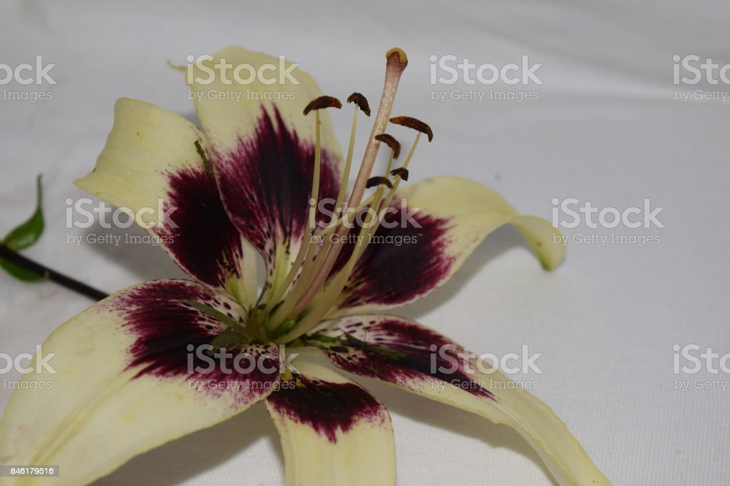 Asiatic Daylilly flower bloom stock photo